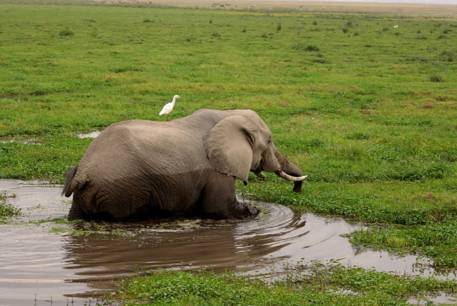 Amboseli National Park Elephant Country 2 - Wading in the swamp