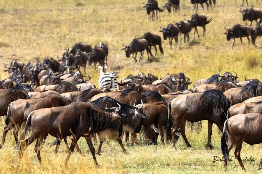 Mara Wildebeest - Bishara Mustafa 1