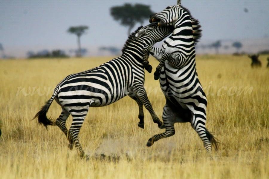Olonana On Safari 20