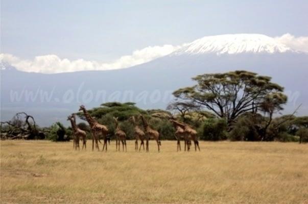 Amboseli National Park Elephant Country - Giraffe & Mt Kilimanjaro