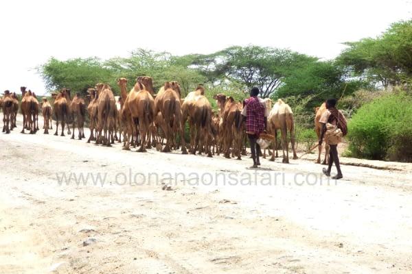 Northern Kenya Camel Keeping