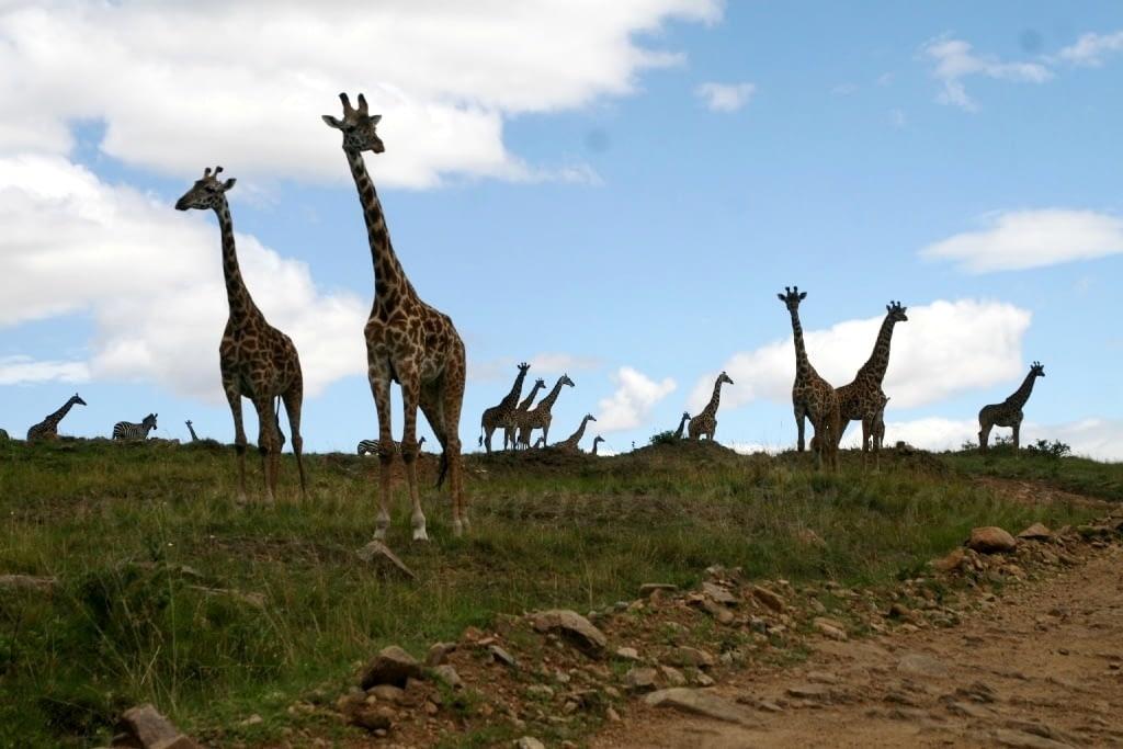 Masai Giraffe in Masai Mara