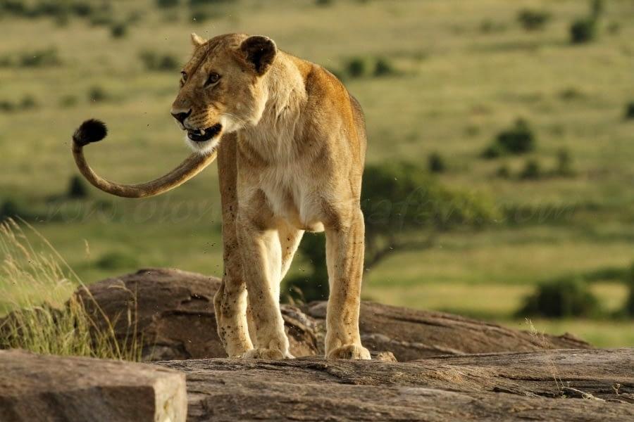 Masai Mara Wildebeest Migration - My Take 7