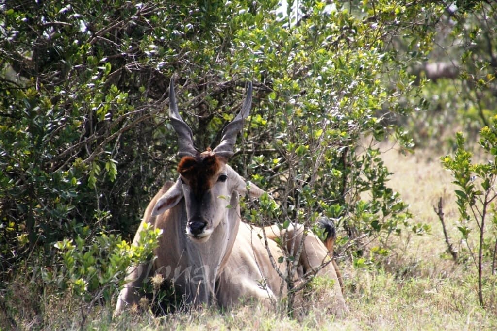 Kenya Forest Parks safari 14