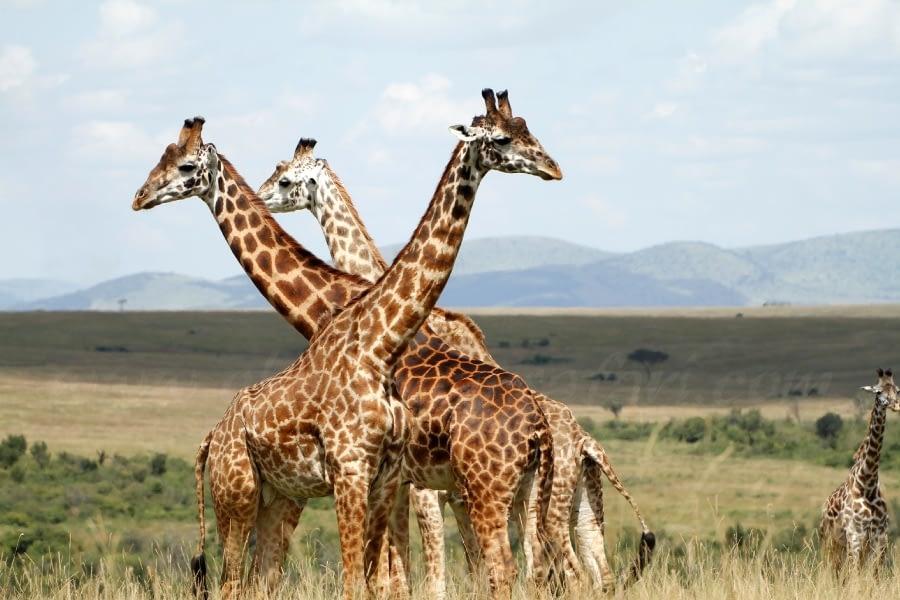The Masai Mara National Reserve – My take 1
