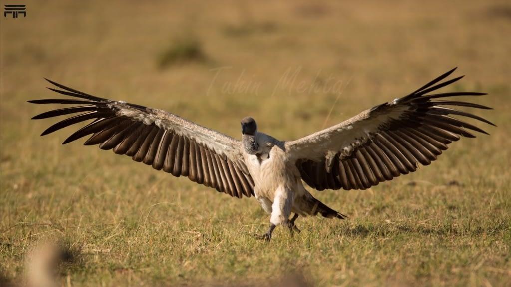 Masai Mara...Photography 1 h