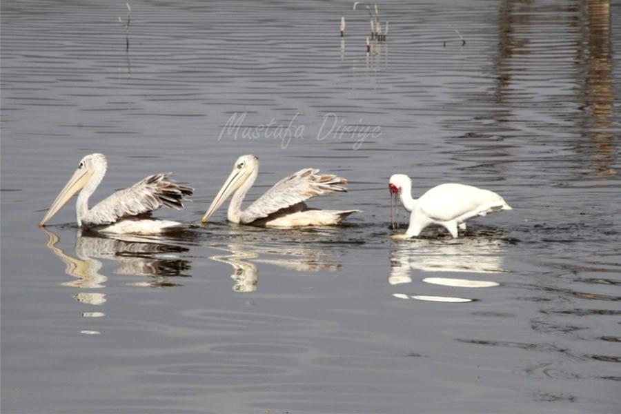 Lake Elementiaita, Birds, Sleeping Warrior 9