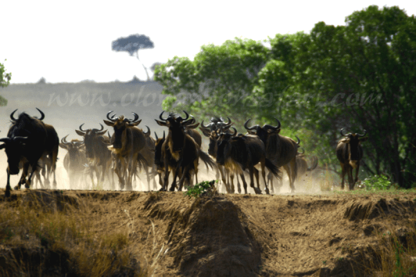 Wildebeest Migration Wonder 1