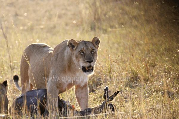 Masai Mara Wildebeest Migration 5