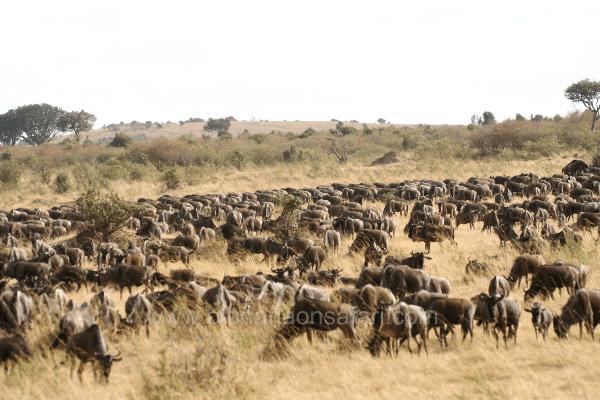 Masai Mara Wildebeest Migration