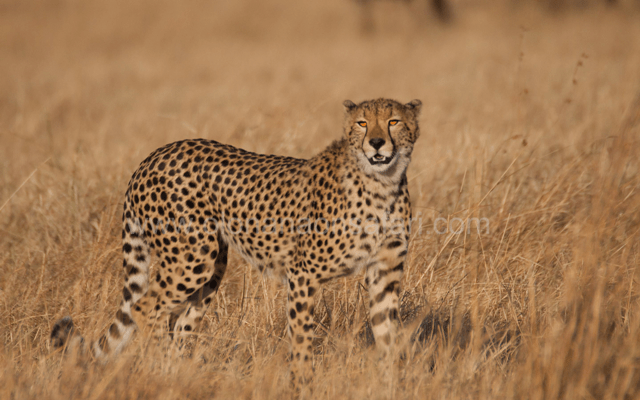 Masai Mara Wildebeest Migration 4