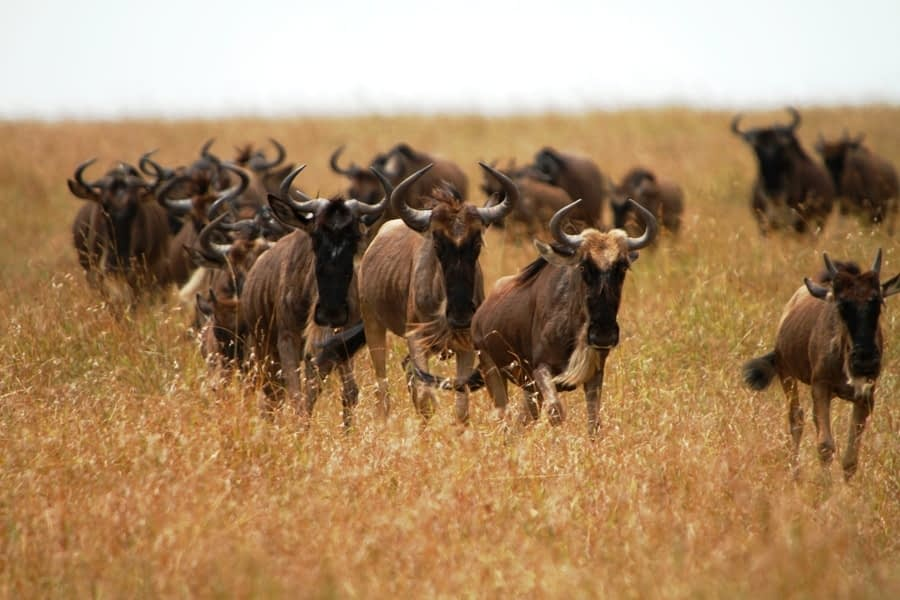 Wildebeest Migration Wonder…