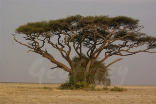 Amboseli National Park - Elephant Country - Tortilis tree
