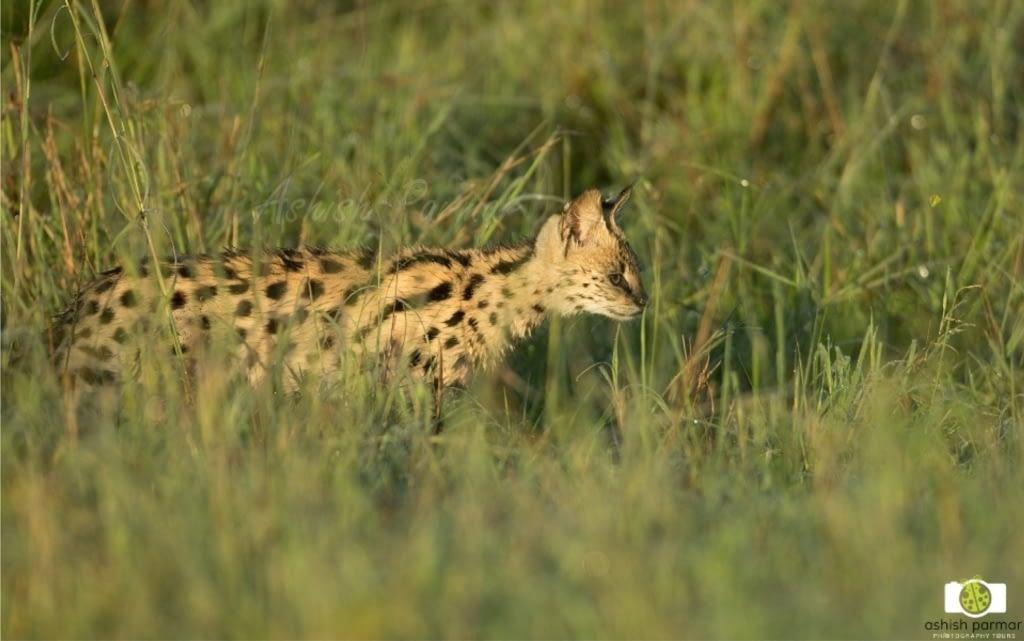 Serval Cat Masai Mara - Ashish Parmar