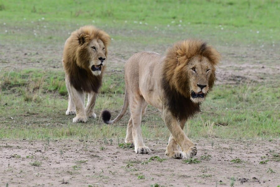 Masai Mara Big Cats