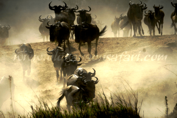 Wildebeest Migration Wonder 2