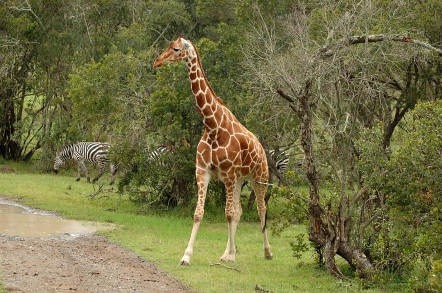 Kenya Forest Parks safari 10