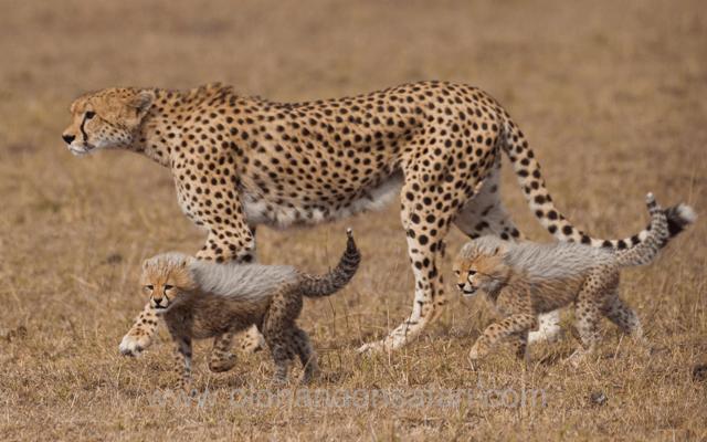 Masai Mara Wildebeest Migration 2