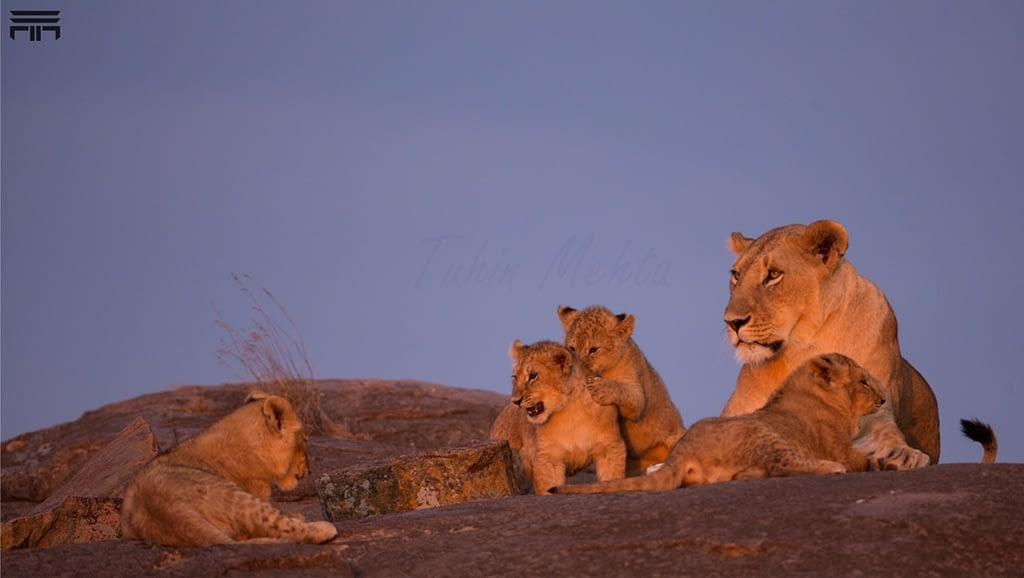 Masai Mara Lion Family - Tuhin Mehta
