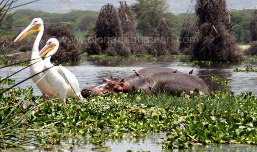 Lake Elementaita, Birds, Sleeping Warrior 5