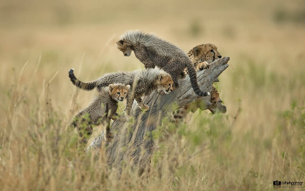 Masai Mara Cheetah Family - Ashish Parmar