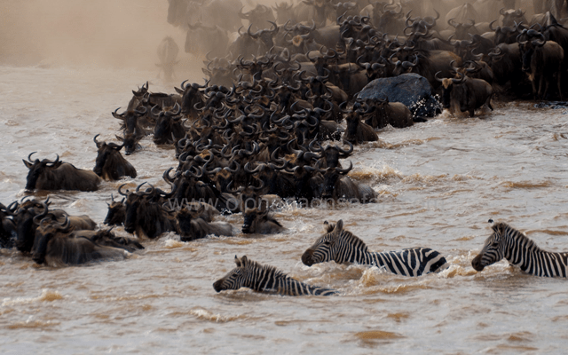 Wildebeest Migration Wonder 3