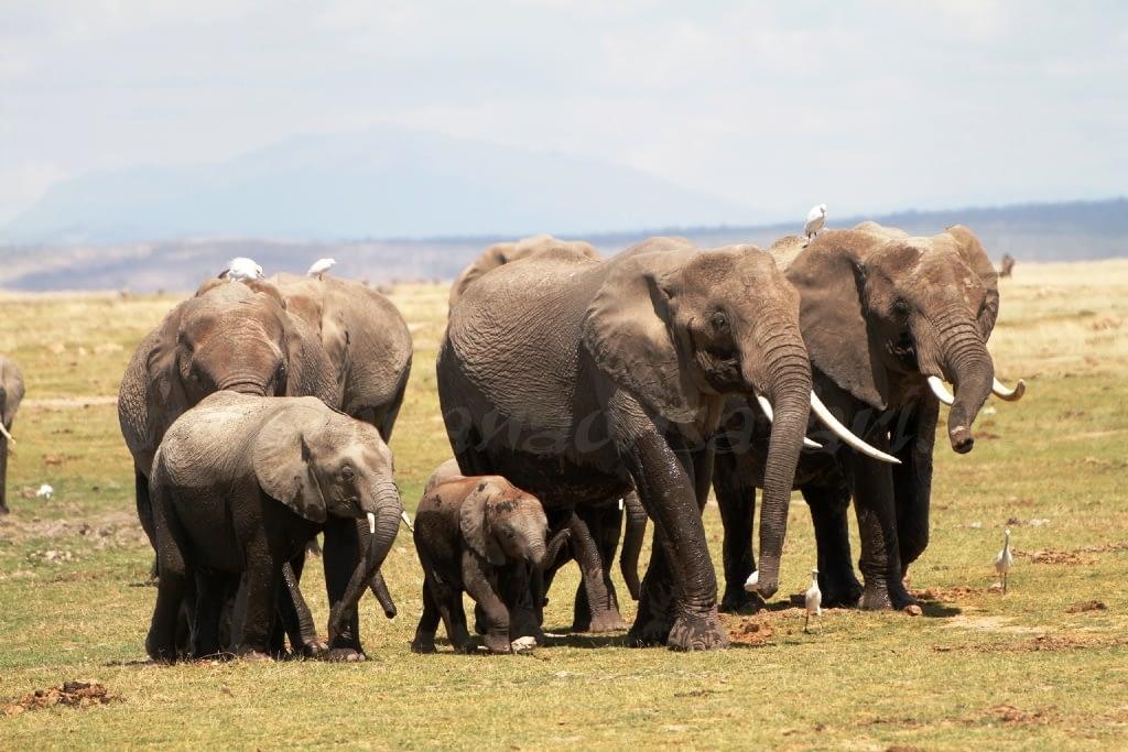 Amboseli - Elephant Country