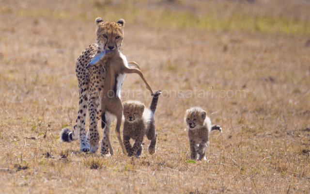 Masai Mara Wildebeest Migration 3